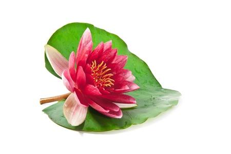lirio de agua: loto rosa con hojas sobre fondo blanco