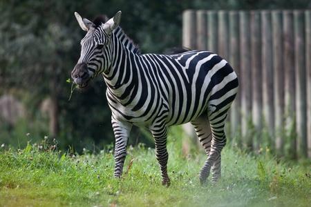 zebra on the meadow