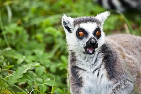 supprised lemur