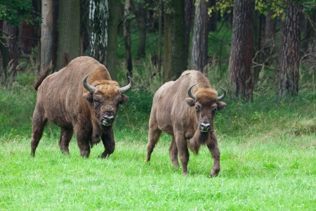 two bisons photo