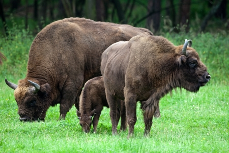 bisons family Stock Photo
