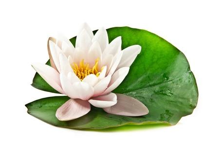 white lotus on white background