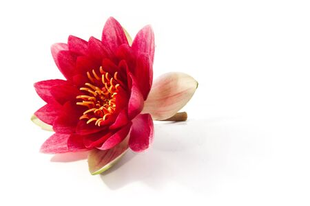 head of pink water lilly Stock Photo