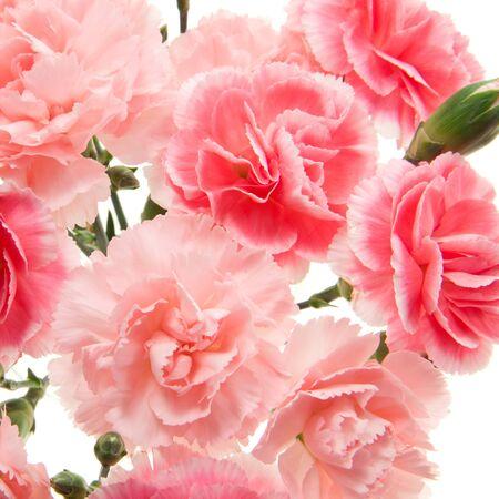 carnation closeup