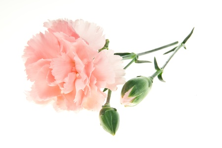carnations: light pink carnation isolated on white background Stock Photo