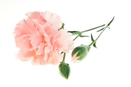 在白色背景隔绝的浅粉红色的康乃馨