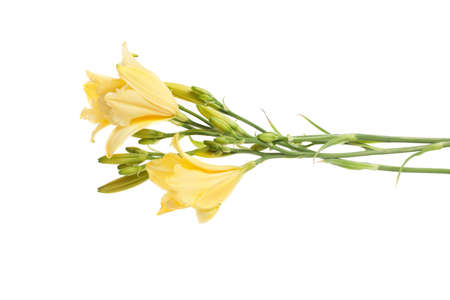 bouquet of fresh yellow daylilies isolated on white background
