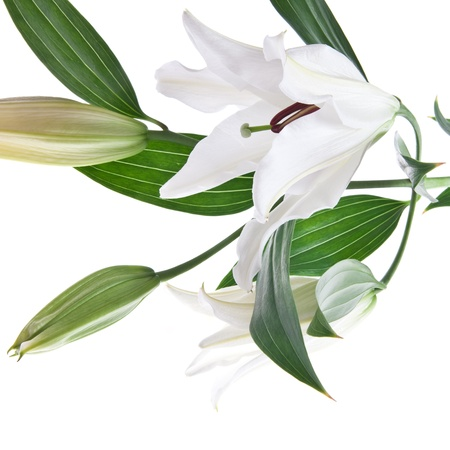 white lilly isolated on white background