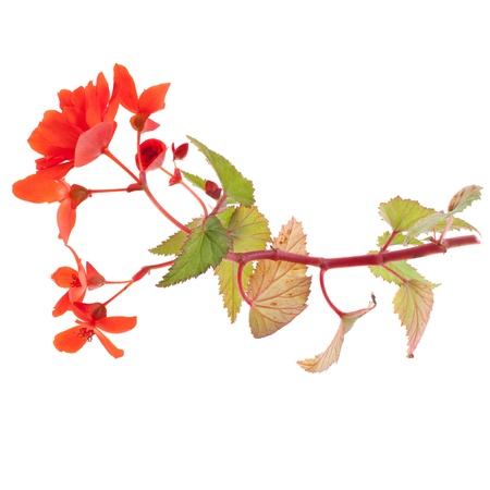 beautiful red begonia isolated on white background