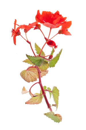vertical shot of red begonia isolated on white background