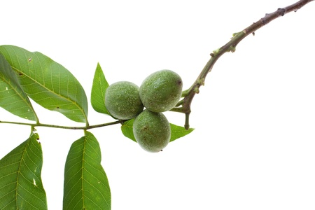 fresh walnut twig isolated on white background