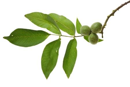 Walnut: Chi nhánh lnut với trái cây chưa chín bị cô lập trên backgroundwa trắng