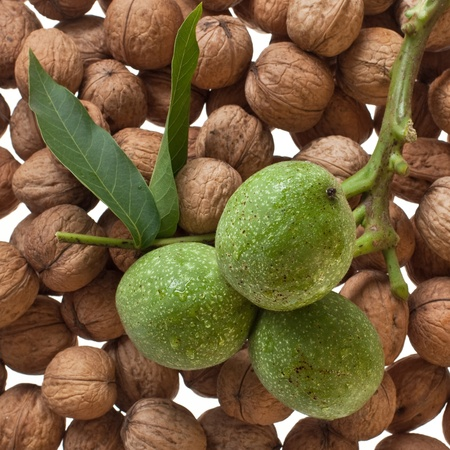 ripe and unripe walnuts twig close up  Stock Photo