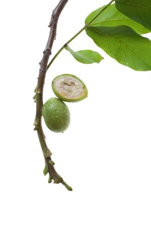 fresh green walnut twig isolated on white background