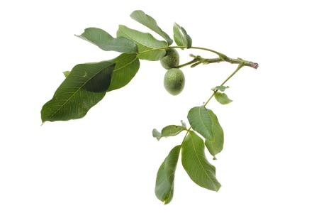 walnut twig with fruits isolated on white background