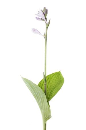 beautiful single hosta japonica isolated on white background