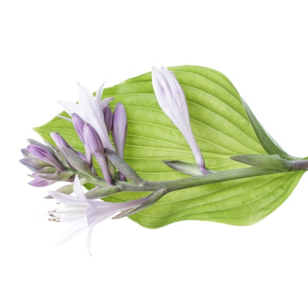 mauve funkia on leaf isolated on white background