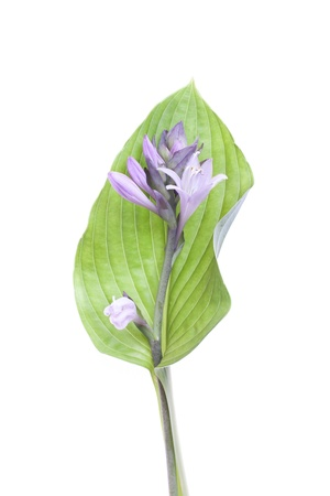 mauve plantain lily on leaf isolated on white background Stock Photo