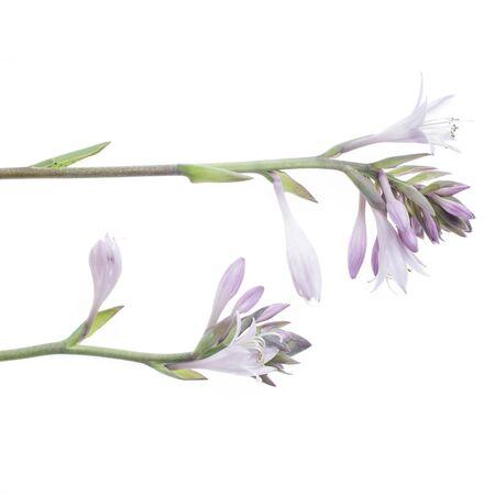 studio shot of mauve hosta isolated on white background Stock Photo