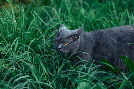British adult cat presses ears and sneaks in the grass
