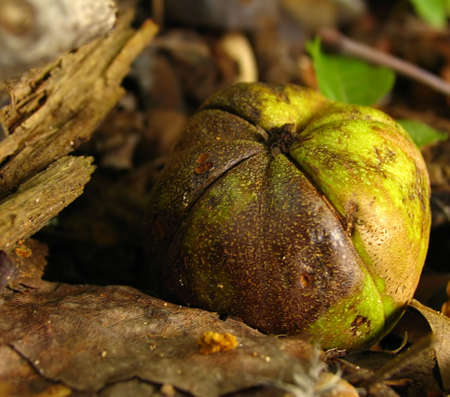 hickory nut fallen