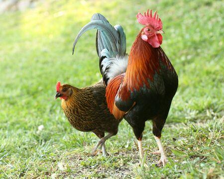 hen and rooster Reklamní fotografie