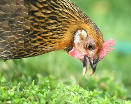 Chicken peck