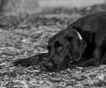 black Labrador Retriever napping