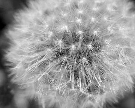 dandelions to blow