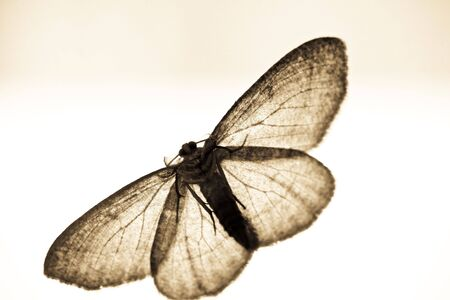 moth in sepia