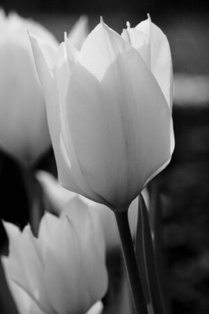 Tulip bed in black and white