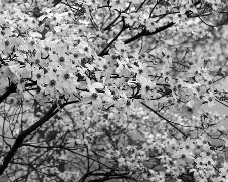 Dogwoods in full bloom black and white print