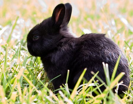 young black bunny