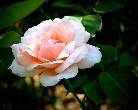 Rose pink Reklamní fotografie
