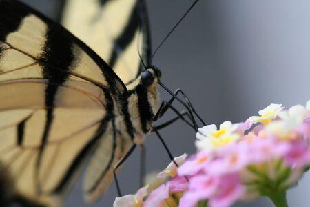 butterflies close up
