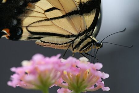 Yellow and black butterfly on Lantana