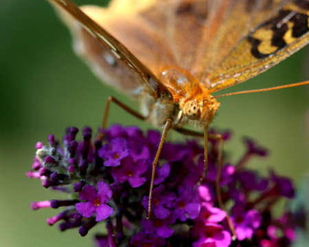 moth close up on butterfly bush