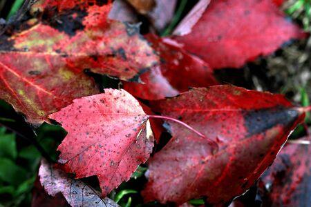 Autumn fallen Maple leaves Reklamní fotografie