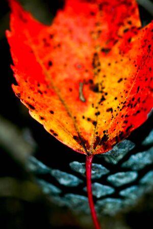 colorful leaf on pine cone Reklamní fotografie