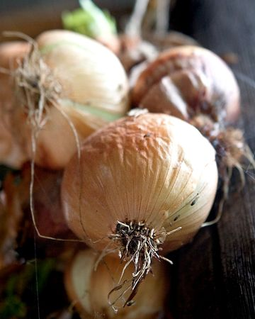 onions fresh and hanging