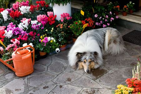 Collie in pretty flowers
