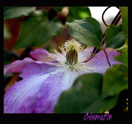 Clematis vine blooming pink
