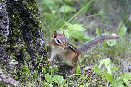 chipmunk pausing against tree