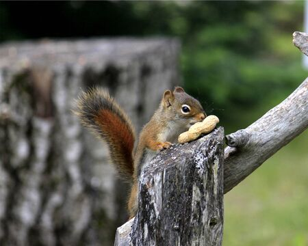 discovering: red squirrel discovering nut