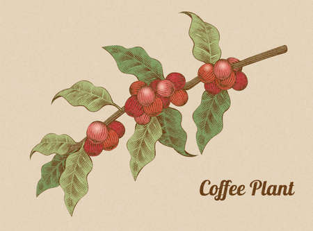 Red coffee beans on branch in engraving style 向量圖像