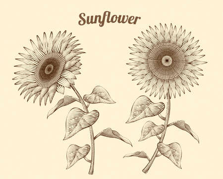 Retro style engraved sunflowers on beige background