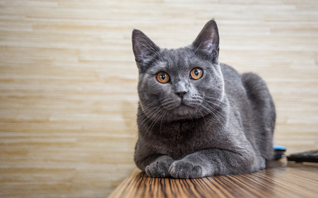 textured wall: British shorthair cat lying on wooden table on wooden wall background with copy space