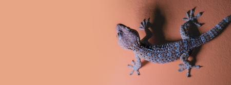 Gecko on the orange wall