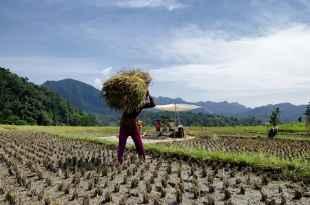 farmers harvesting rice in cirebon, west java,  indonesia Reklamní fotografie
