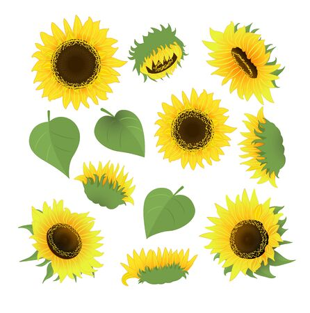 Sunflower bouquet vector.Isolated on white background.Cartoon style